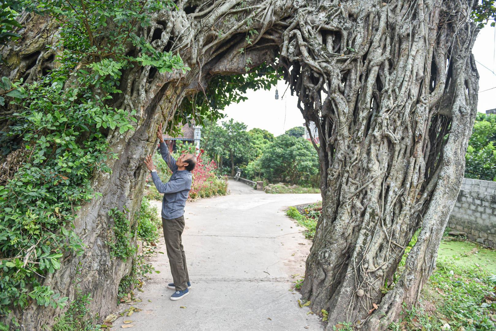 """Cây đa 500 tuổi có bộ rễ khủng tạo thành cổng làng """"độc"""" nhất ở Hưng Yên - Ảnh 4."""