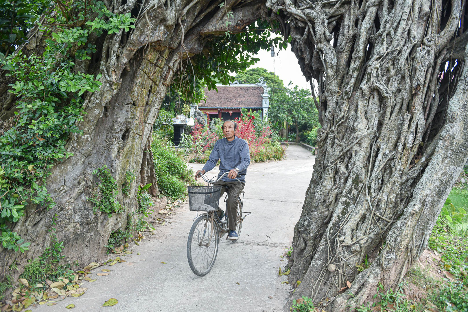 """Cây đa 500 tuổi có bộ rễ khủng tạo thành cổng làng """"độc"""" nhất ở Hưng Yên - Ảnh 1."""