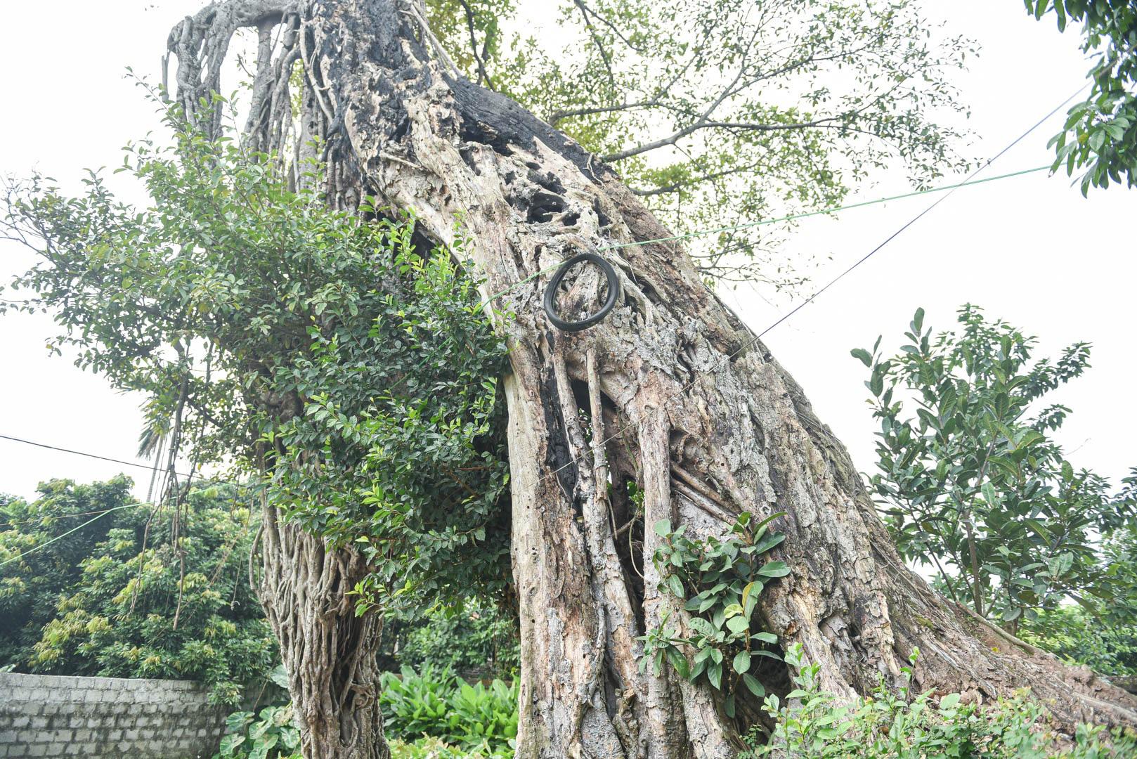 """Cây đa 500 tuổi có bộ rễ khủng tạo thành cổng làng """"độc"""" nhất ở Hưng Yên - Ảnh 7."""