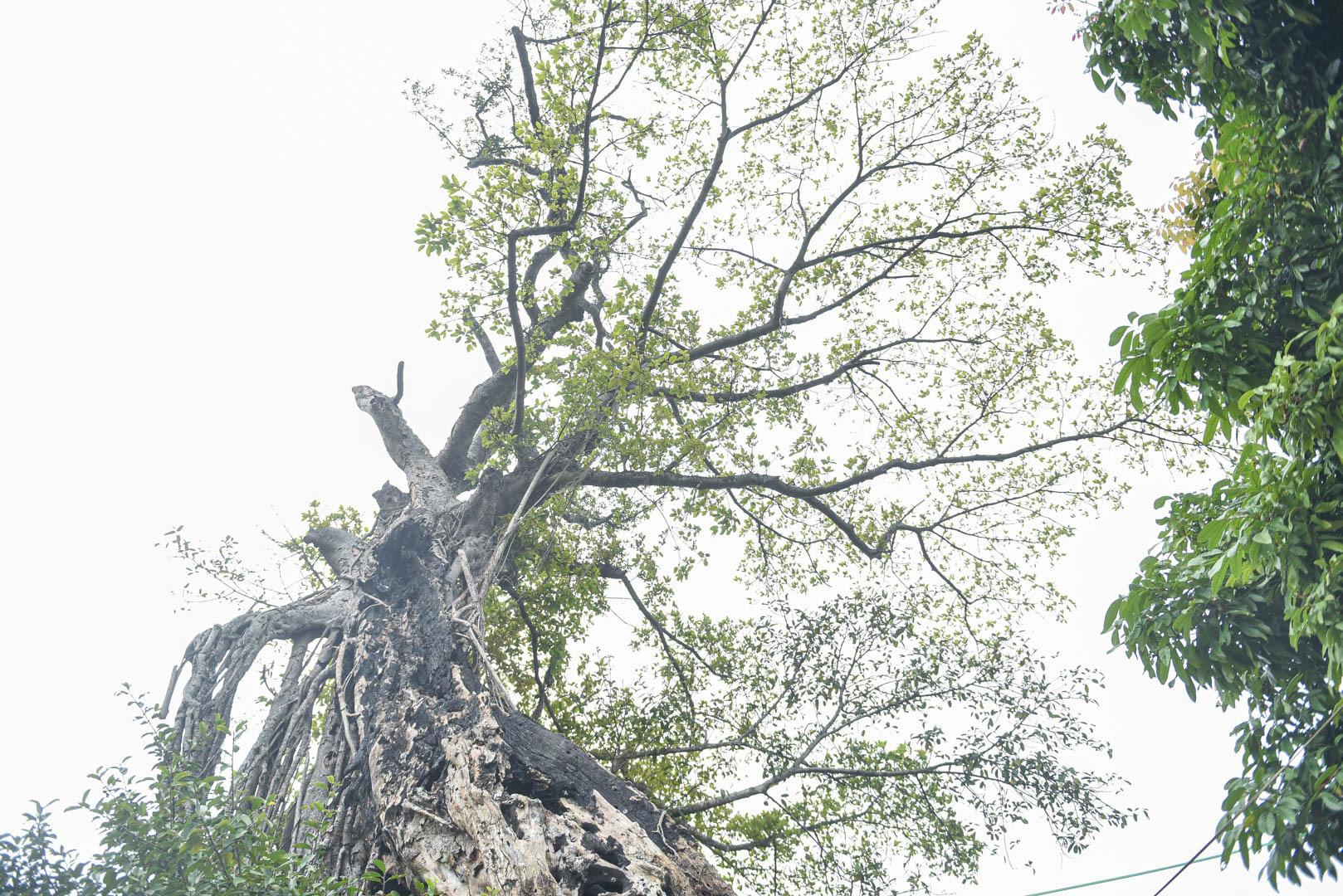 """Cây đa 500 tuổi có bộ rễ khủng tạo thành cổng làng """"độc"""" nhất ở Hưng Yên - Ảnh 10."""