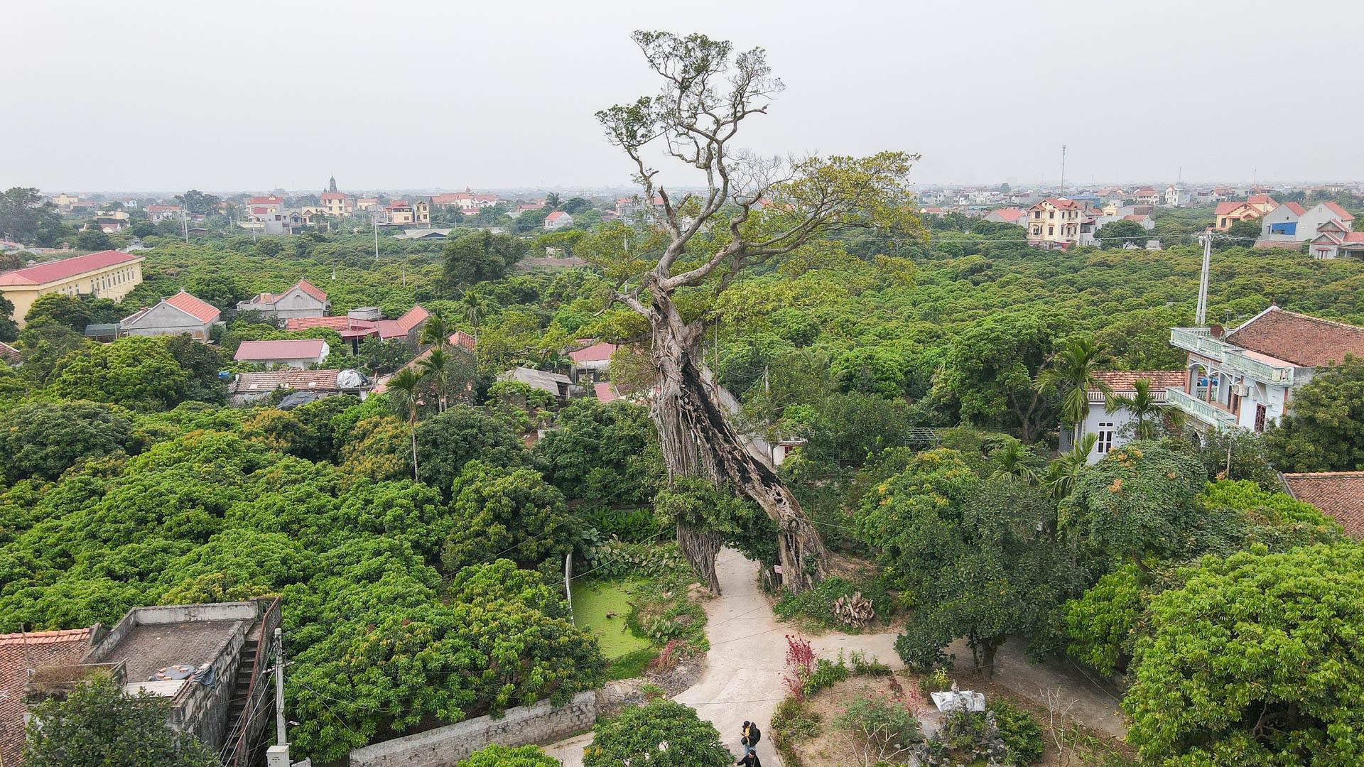 """Cây đa 500 tuổi có bộ rễ khủng tạo thành cổng làng """"độc"""" nhất ở Hưng Yên - Ảnh 2."""
