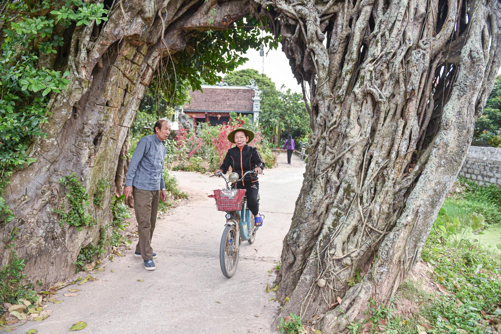 """Cây đa 500 tuổi có bộ rễ khủng tạo thành cổng làng """"độc"""" nhất ở Hưng Yên - Ảnh 5."""