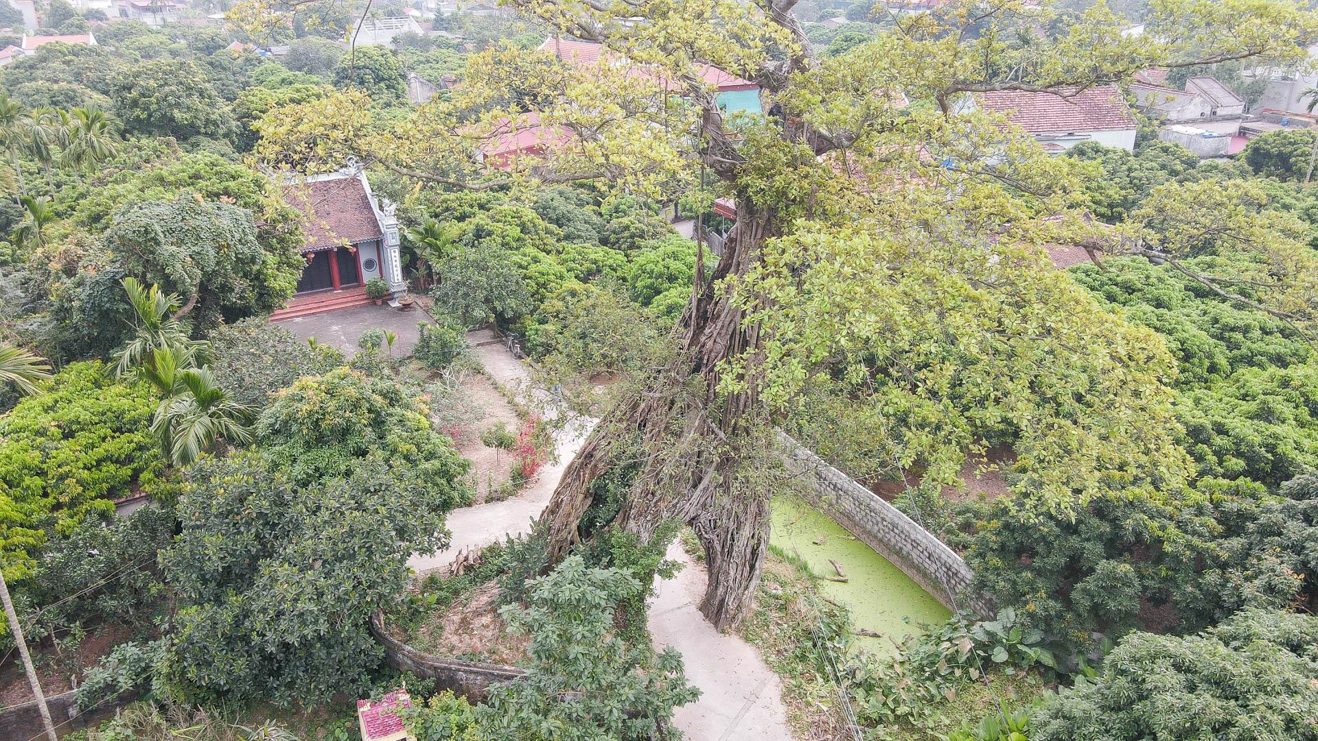 """Cây đa 500 tuổi có bộ rễ khủng tạo thành cổng làng """"độc"""" nhất ở Hưng Yên - Ảnh 6."""