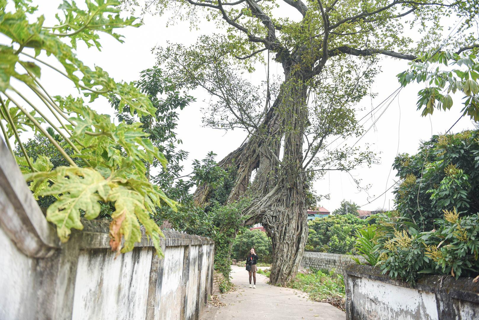 """Cây đa 500 tuổi có bộ rễ khủng tạo thành cổng làng """"độc"""" nhất ở Hưng Yên - Ảnh 11."""