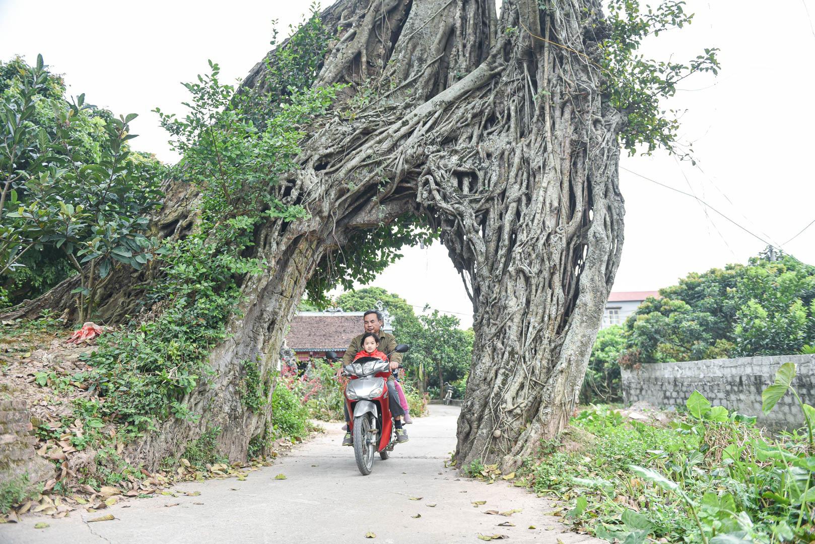 """Cây đa 500 tuổi có bộ rễ khủng tạo thành cổng làng """"độc"""" nhất ở Hưng Yên - Ảnh 8."""
