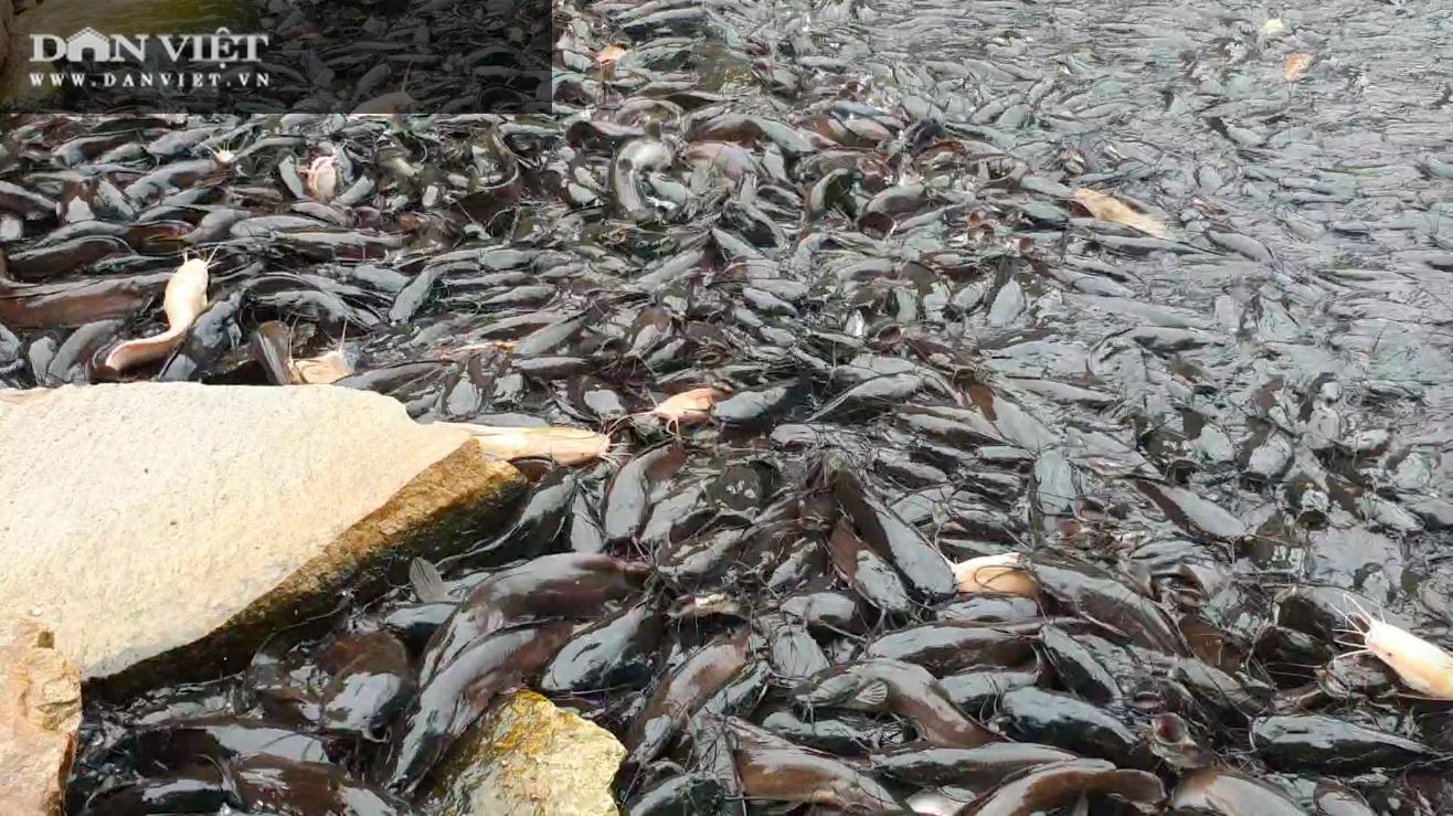 Chuyện khó tin: Đàn cá trê hàng nghìn con nổi đầu đen nghịt mặt ao hàng chục mét - Ảnh 2.