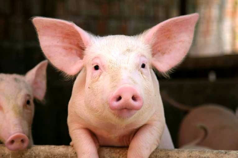 Bản tin giá nông sản 20/1: Giá lợn hôm nay thấp nhất 80.000 đồng/kg, giá tiêu có tín hiệu vui - Ảnh 2.