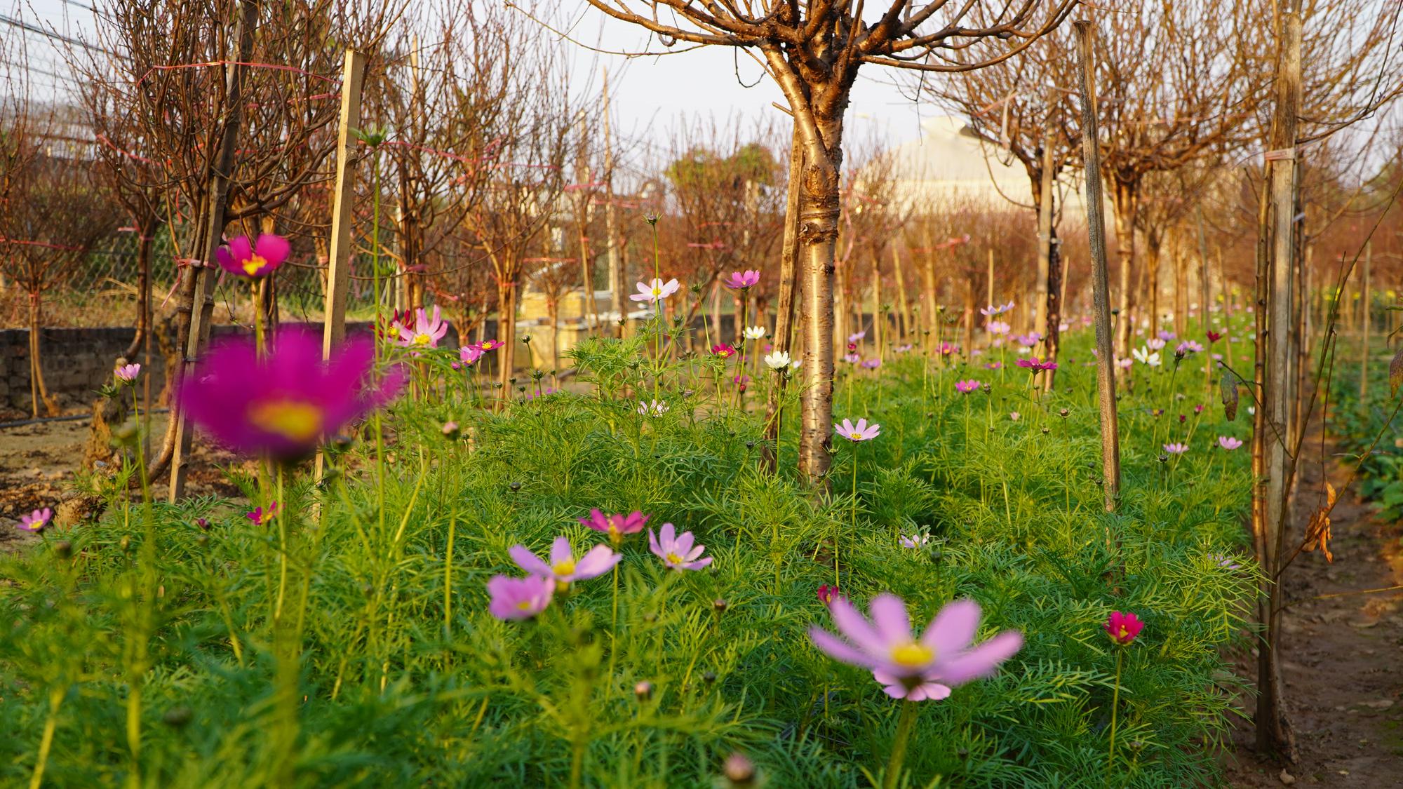 """Thời tiết tết 2021: Nông dân trồng hoa liệu có như """"đánh bạc"""" - Ảnh 5."""