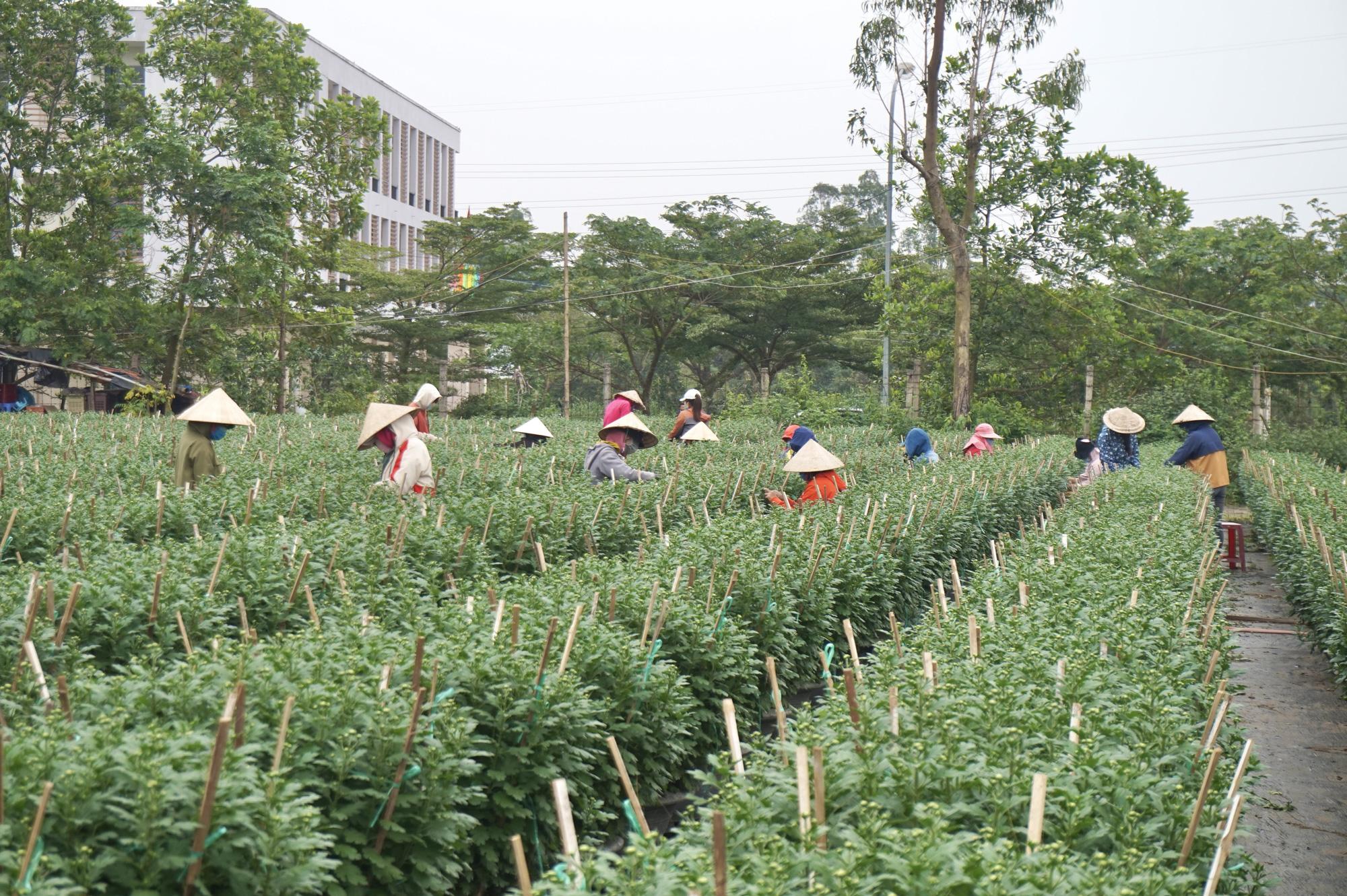Đà Nẵng: Sinh viên làm nông kiếm tiền triệu dịp Tết Nguyên đán 2021 - Ảnh 1.
