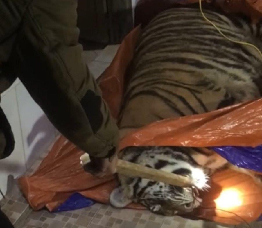 Thu giữ cá thể hổ nặng 2,5 tạ sắp bị nấu cao trong nhà dân ở huyện miền núi Hà Tĩnh - Ảnh 2.