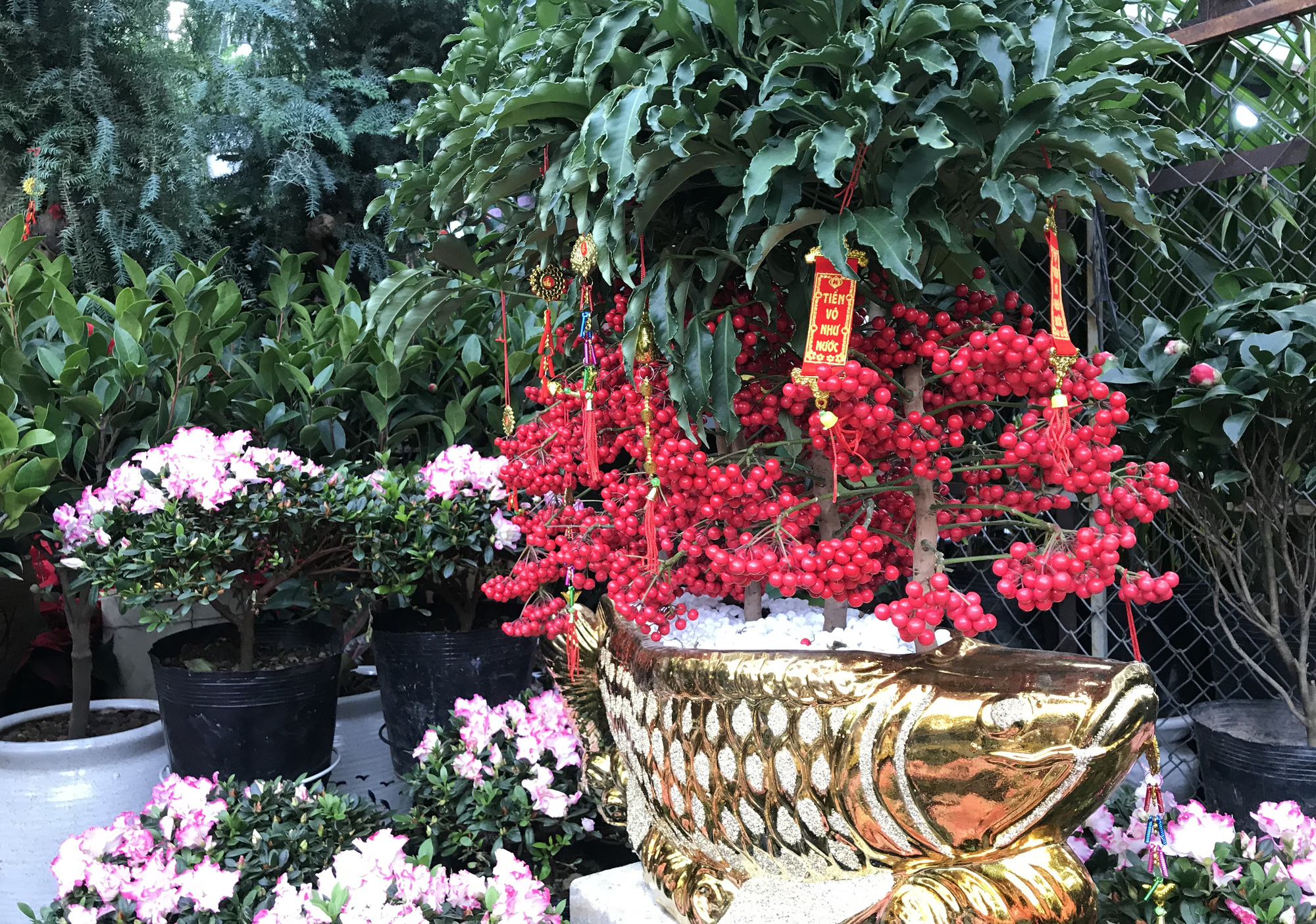 Hoa kiểng Tết đã bán tại Sài Gòn, tranh thủ giá rẻ, nhiều người đi mua sớm - Ảnh 7.
