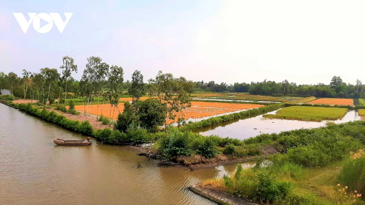 Cà Mau: Về vùng đất này xem người dân đang bắt tôm càng xanh trong ruộng lúa, toàn con to bự - Ảnh 1.
