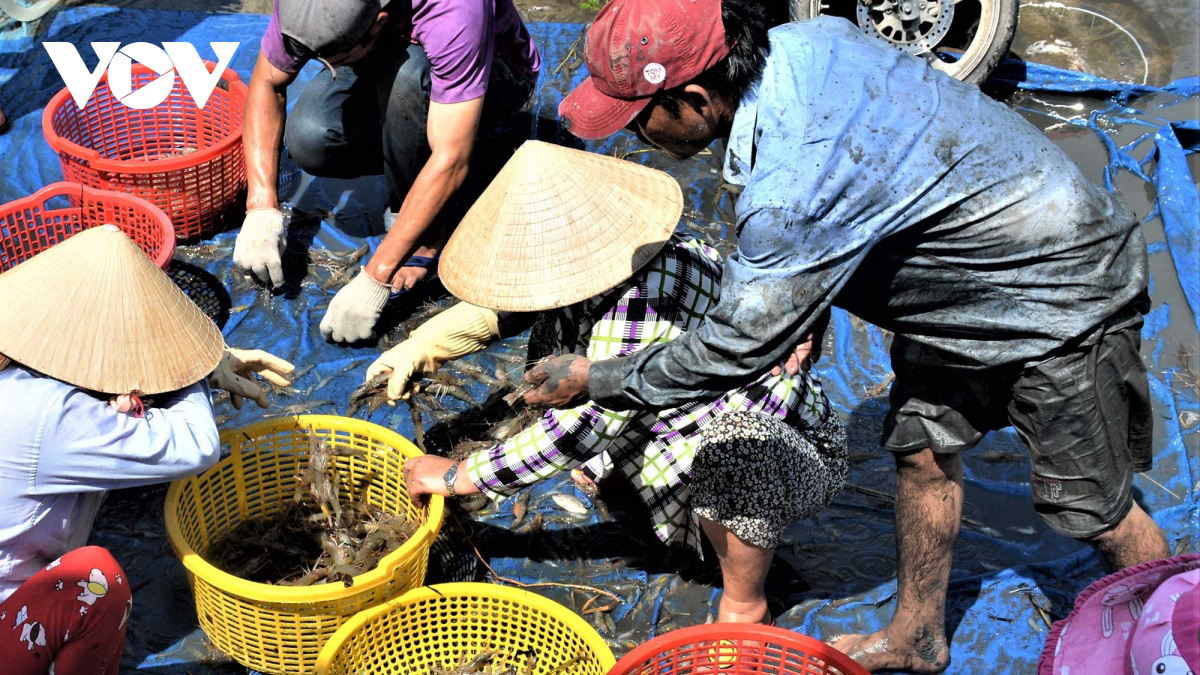 Cà Mau: Về vùng đất này xem người dân đang bắt tôm càng xanh trong ruộng lúa, toàn con to bự - Ảnh 14.