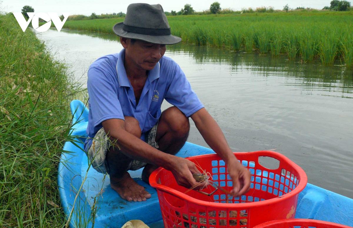 Cà Mau: Về vùng đất này xem người dân đang bắt tôm càng xanh trong ruộng lúa, toàn con to bự - Ảnh 3.