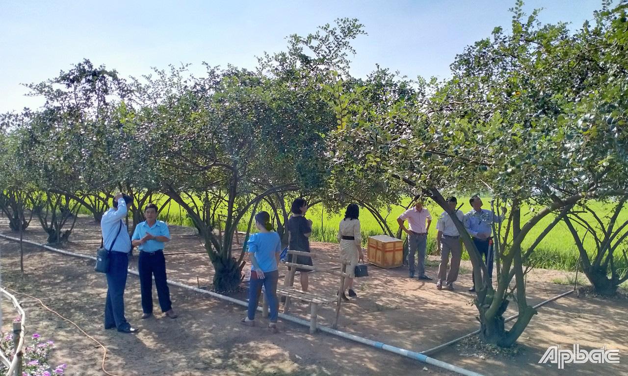 Tiền Giang: Chỉ là trồng vườn táo thôi, nhưng sao nhiều người tìm đến xem thế - Ảnh 2.
