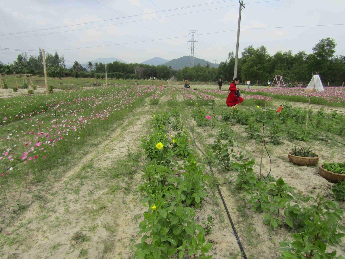 Bình Định: Loài hoa nhuốm màu huyền thoại ở tỉnh Hà Giang bất ngờ xuất hiện ở Phù Cát, nhiều người thích thú - Ảnh 9.