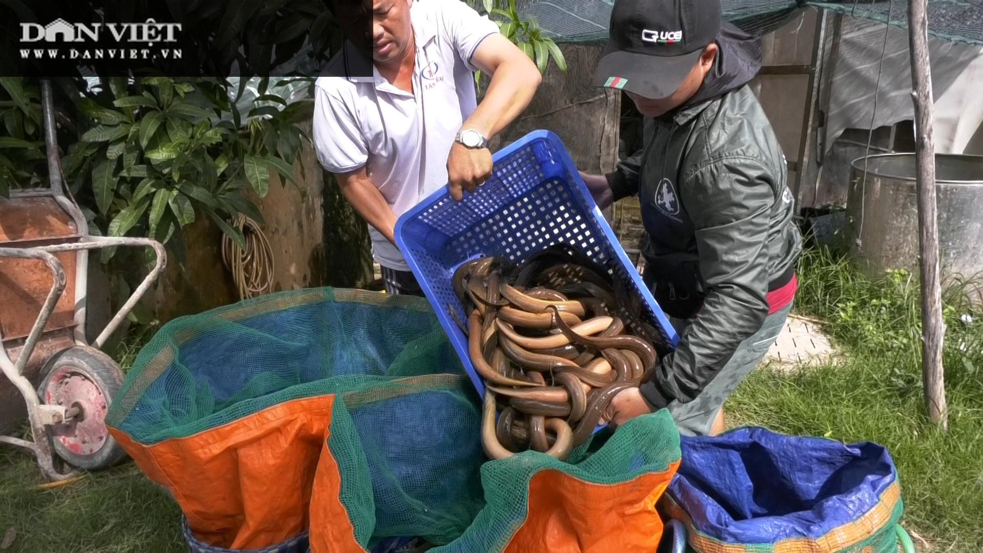 Một ông nông dân tỉnh Đồng Tháp bắt bán hàng tấn lươn không bùn, thương lái tấp nập đến mua - Ảnh 8.