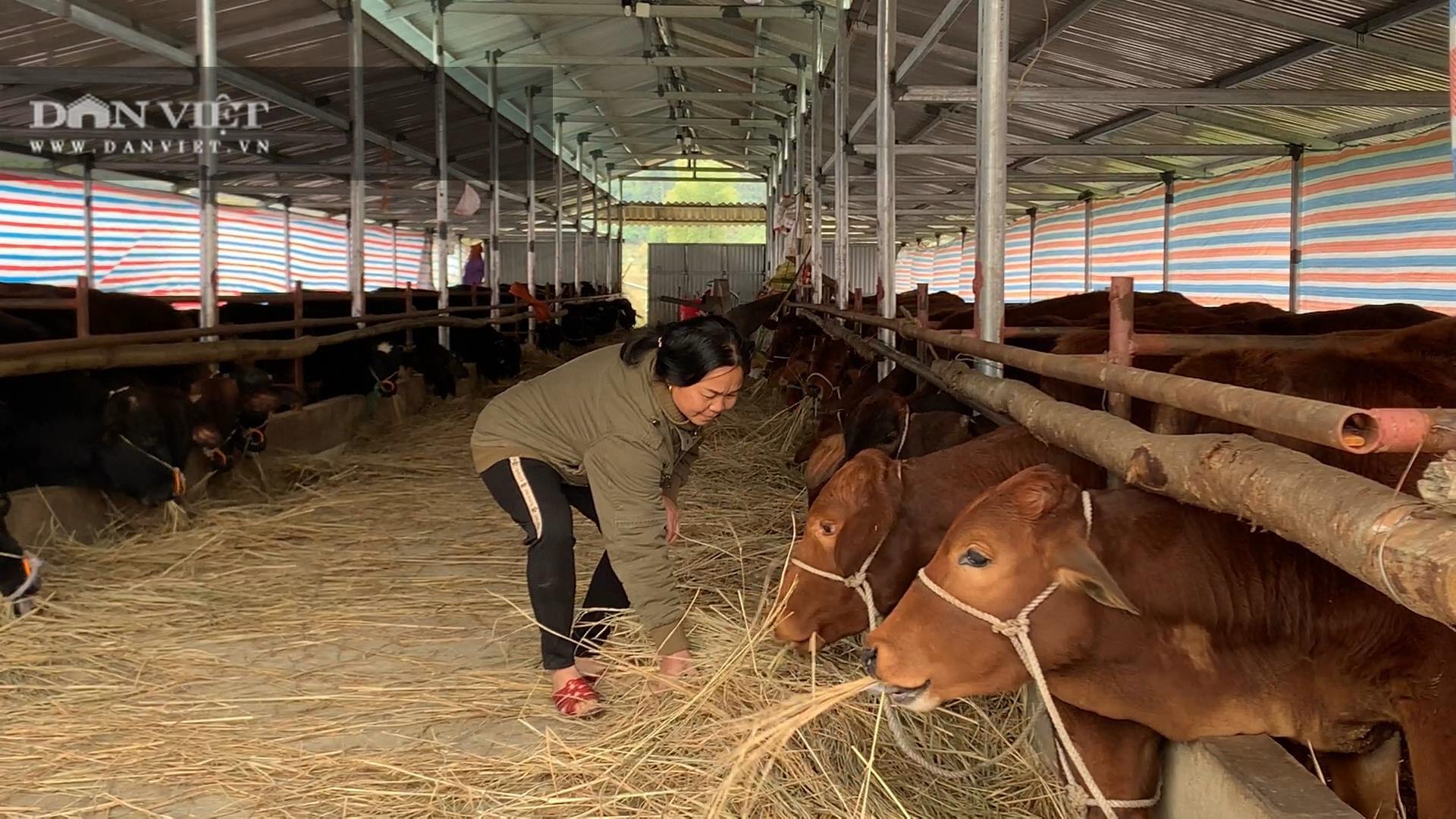 Bắc Kạn: Thu vài tỷ đồng mỗi năm từ nấu rượu, nuôi lợn, nuôi bò - Ảnh 2.