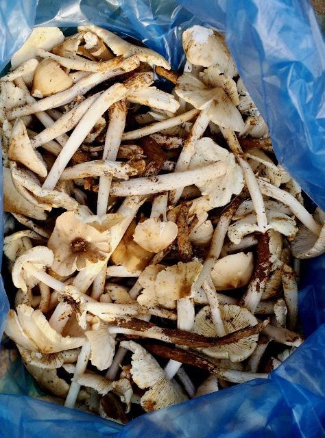 Vô rừng vùng biên viễn Lào Cai săn thứ nấm quen mà lạ, ăn một miếng bổ dưỡng khỏe cả người - Ảnh 1.