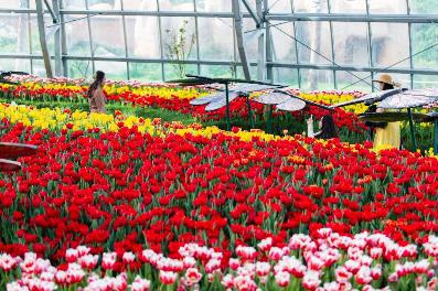 """Khám phá """"mùa hoa Hà Lan"""" sớm nhất thế giới tại đảo nhiệt đới Hòn Tre - Ảnh 2."""
