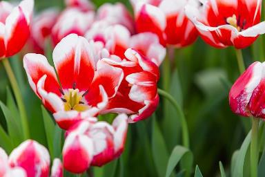 """Khám phá """"mùa hoa Hà Lan"""" sớm nhất thế giới tại đảo nhiệt đới Hòn Tre - Ảnh 3."""