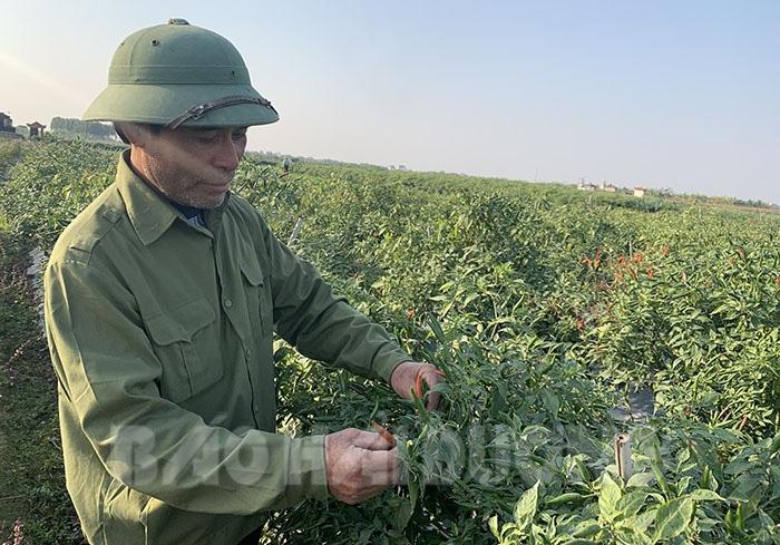 Hải Dương: Giá ớt tươi tăng cao gấp 8 lần, trồng 1 sào nông dân lãi 24 triệu đồng ngon ơ - Ảnh 1.