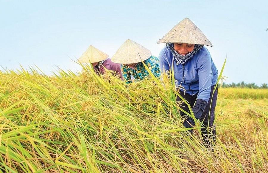 Giá nông sản hôm nay (22/1): Giá lúa gạo, hồ tiêu đi ngang, lợn hơi chưa hạ nhiệt - Ảnh 1.