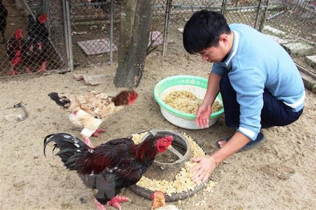 Hà Tĩnh: Nuôi con đặc sản bán Tết, lùng mua lợn rừng, gà chân to nhưng chậm chân là hết chổ đặt tiền - Ảnh 1.