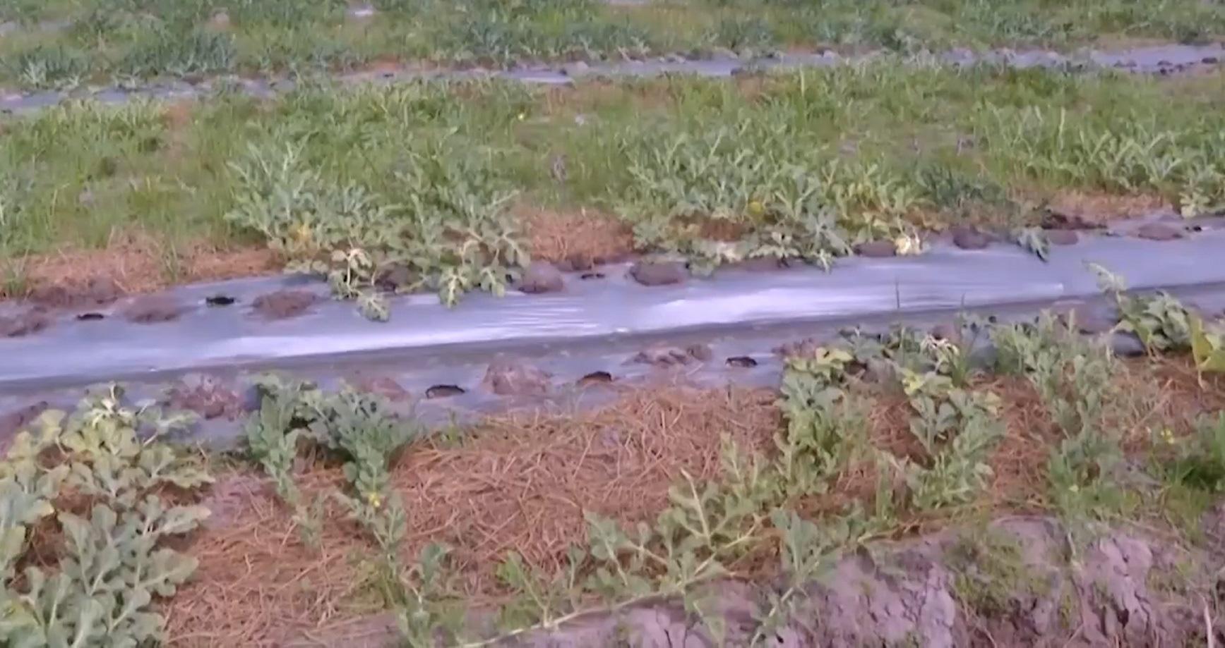 Bà Rịa - Vũng Tàu: Nông dân thấp thỏm dưa tết - Ảnh 4.