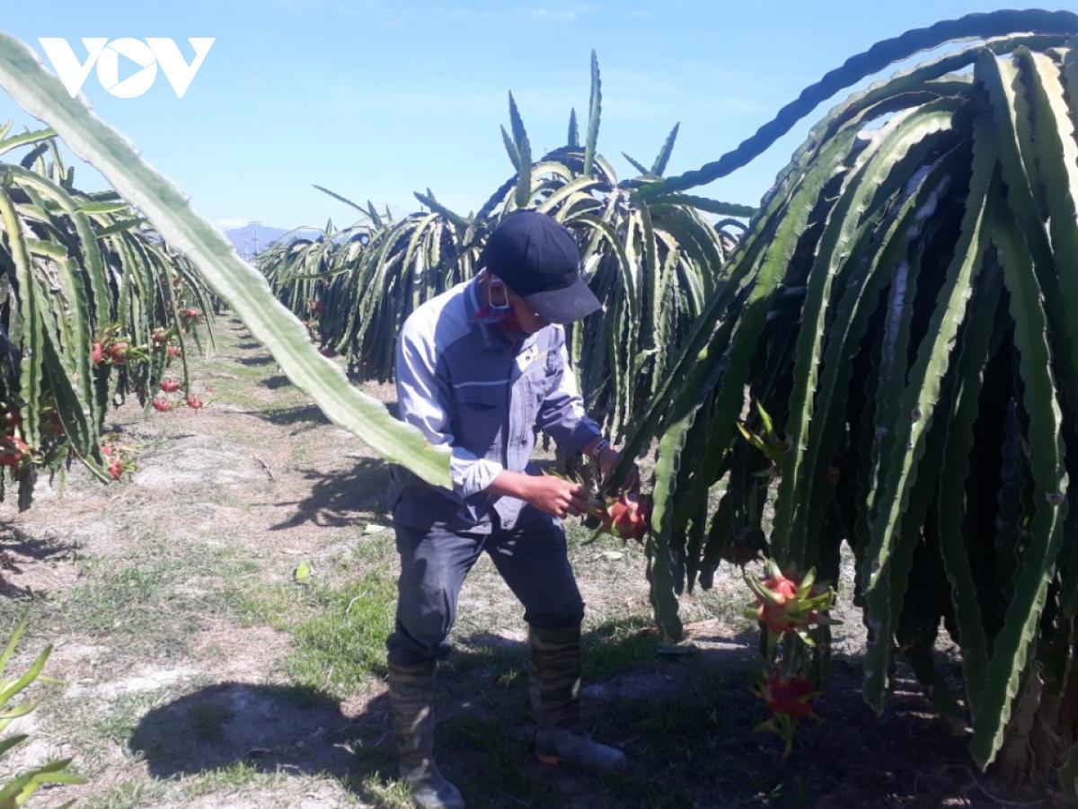 """Thanh long rớt giá, nông dân Bình Thuận, Long An lo """"mất"""" Tết - Ảnh 1."""