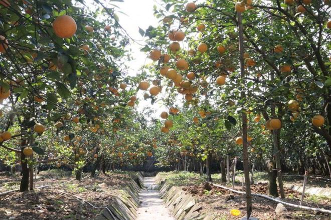 Trồng cây gì bán Tết 2021: Cam Xã Đoài là giống cam gì mà bán giá cao ngất ngưởng 130.000/quả? - Ảnh 1.