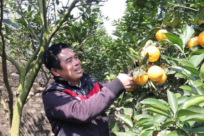 Trồng cây gì bán Tết 2021: Cam Xã Đoài là giống cam gì mà bán giá cao ngất ngưởng 130.000/quả? - Ảnh 4.