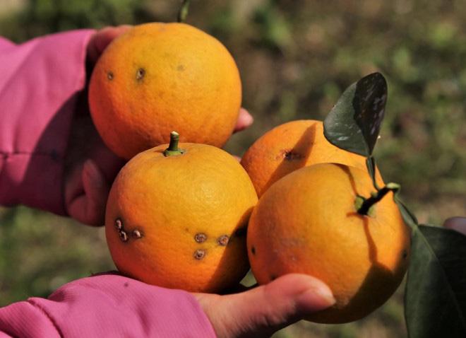 Trồng cây gì bán Tết 2021: Cam Xã Đoài là giống cam gì mà bán giá cao ngất ngưởng 130.000/quả? - Ảnh 3.