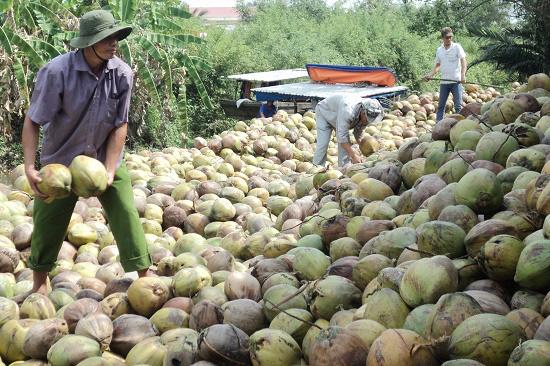 Trà Vinh: Hạn mặn hoành hành như thế, nông dân trồng cây dừa hữu cơ lại được 1 năm thắng lớn - Ảnh 1.