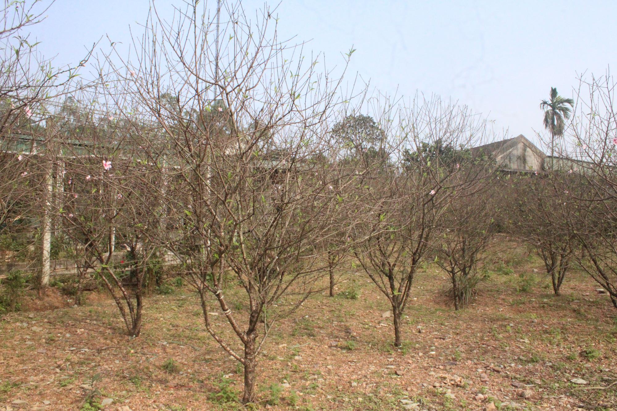 Đào rừng bị cấm, thủ phủ đào phai ở Hà Tĩnh hút khách - Ảnh 1.