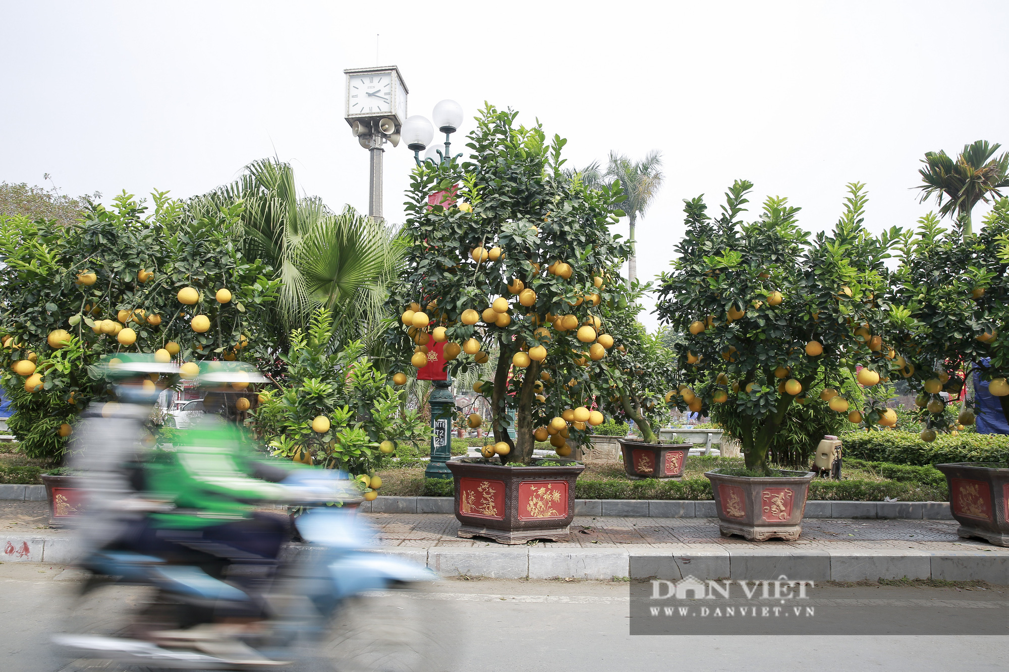 Bưởi cảnh trĩu quả giá chục triệu xuất hiện tại đường phố Hà Nội - Ảnh 1.