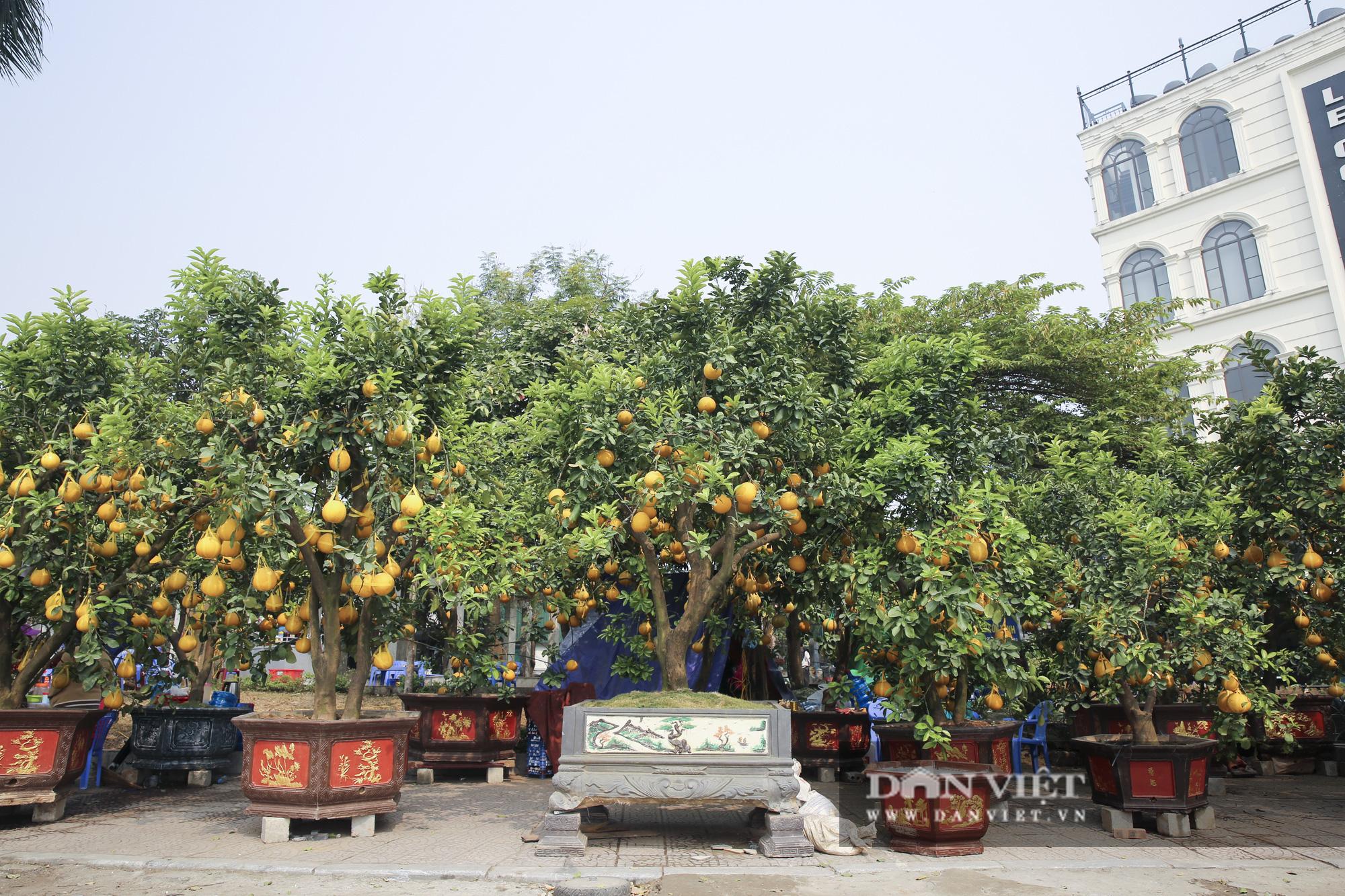 Bưởi cảnh trĩu quả giá chục triệu xuất hiện tại đường phố Hà Nội - Ảnh 13.