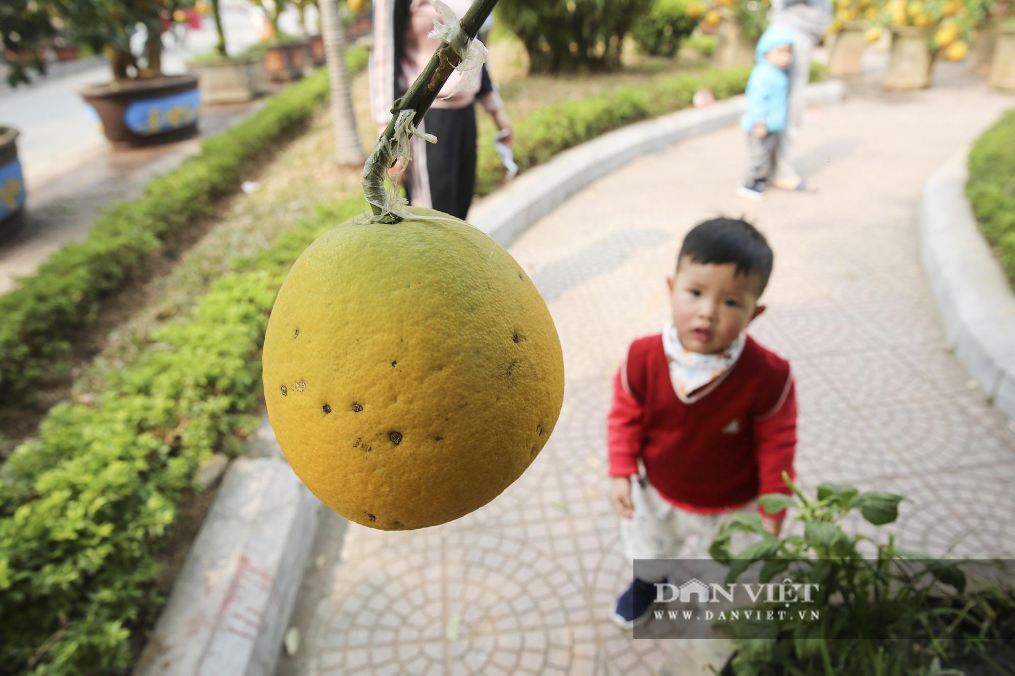 Bưởi cảnh trĩu quả giá chục triệu xuất hiện tại đường phố Hà Nội - Ảnh 8.