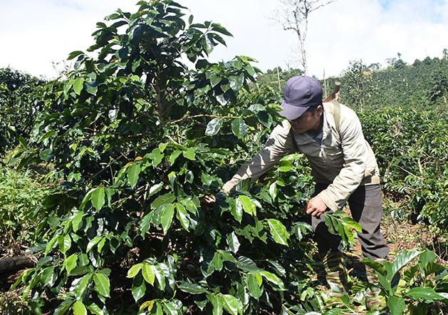 Kon Tum: Cây làm giàu ở Đông Trường Sơn là cây gì mà giúp nhiều nông dân từ nghèo vươn lên thành khá giả? - Ảnh 1.