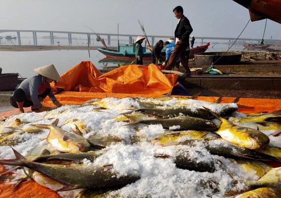 """Hà Tĩnh: Phát hiện luồng cá to bự, toàn thân như """"dát vàng"""", bắt lên được 2 tấn thu về hơn nửa tỷ - Ảnh 4."""