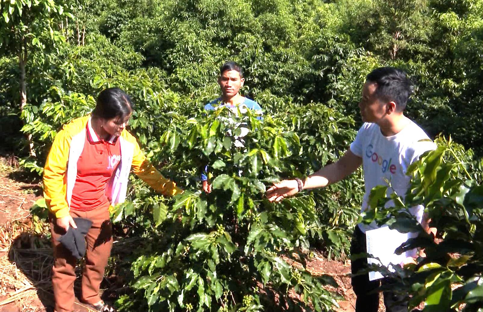 Kon Tum: Cây làm giàu ở Đông Trường Sơn là cây gì mà giúp nhiều nông dân từ nghèo vươn lên thành khá giả? - Ảnh 3.