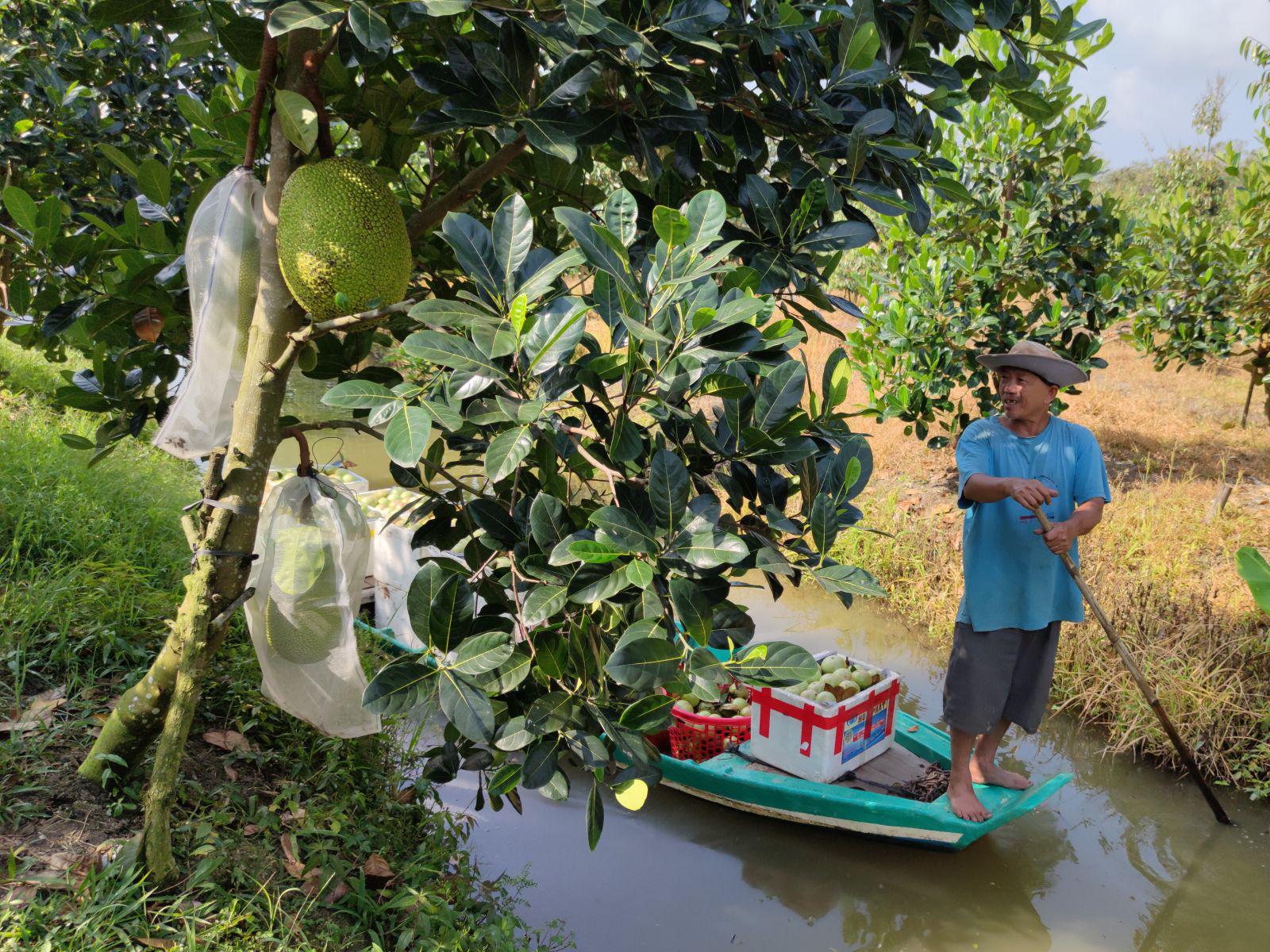 """Giá mít Thái ở ĐBSCL tăng mạnh sau mấy tuần """"cắm đầu đi xuống"""", nông dân bất ngờ, thương lái tiết lộ điều này - Ảnh 1."""