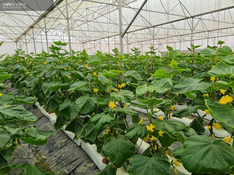 Điện Biên: Nông dân 4.0 trồng rau công nghệ cao, trái thu hoạch đến đâu thương lái mua hết đến đó  - Ảnh 1.