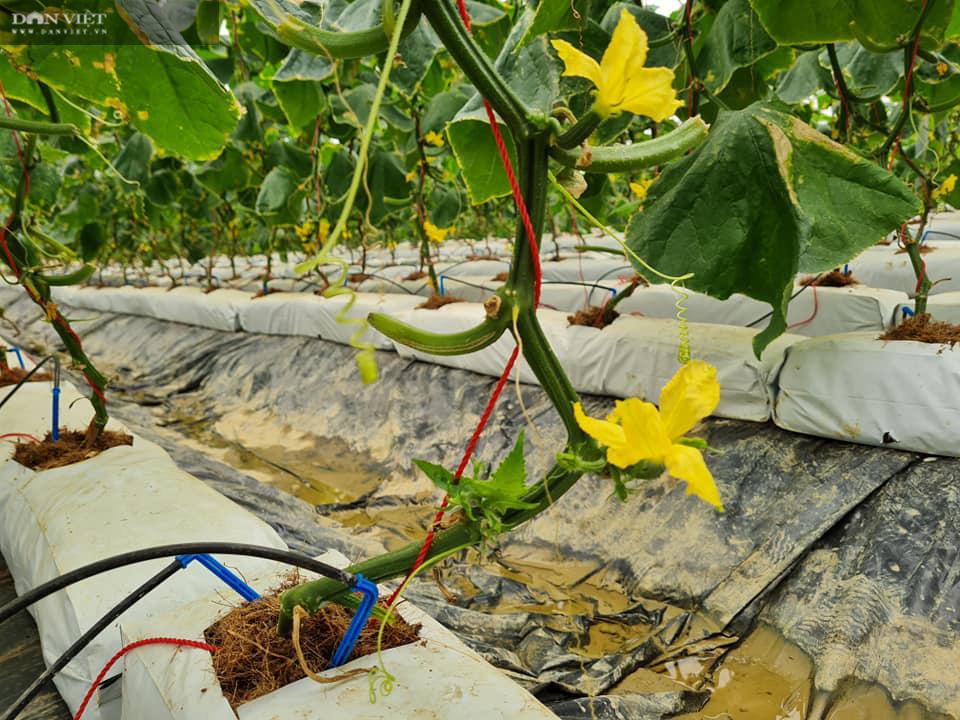 Điện Biên: Nông dân 4.0 trồng rau công nghệ cao, trái thu hoạch đến đâu thương lái mua hết đến đó  - Ảnh 4.