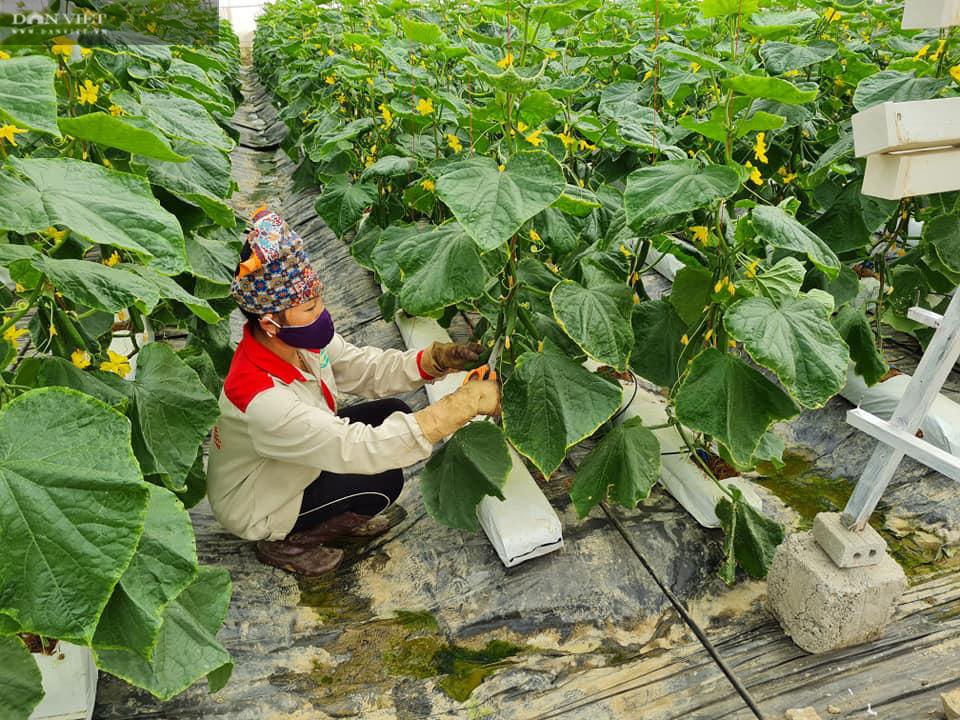 Điện Biên: Nông dân 4.0 trồng rau công nghệ cao, trái thu hoạch đến đâu thương lái mua hết đến đó  - Ảnh 7.