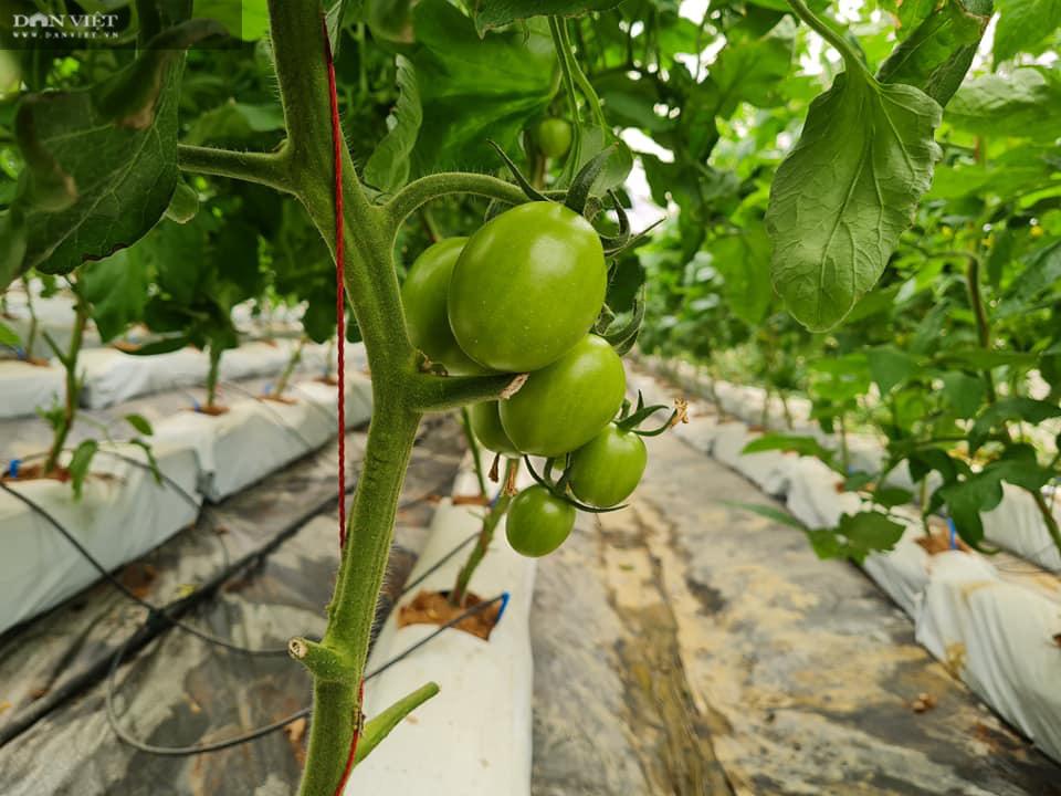 Điện Biên: Nông dân 4.0 trồng rau công nghệ cao, trái thu hoạch đến đâu thương lái mua hết đến đó  - Ảnh 5.