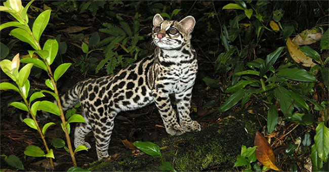 mèo đốm margay