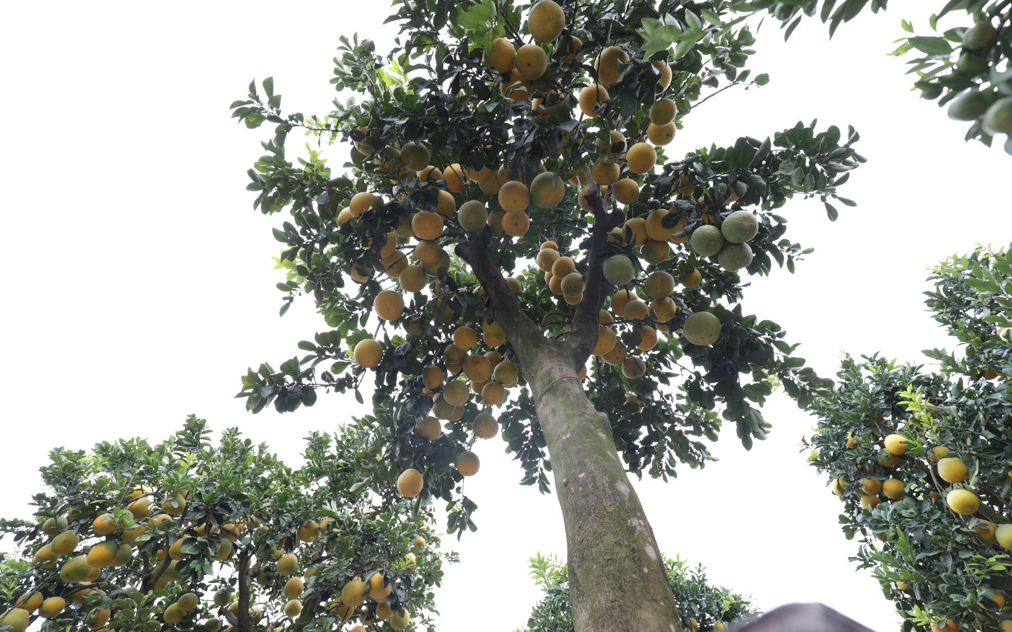 Đeo lúc lỉu hơn 200 quả trên cây: Bưởi cảnh khổng lồ 'hét' giá cho thuê gần 100 triệu đồng