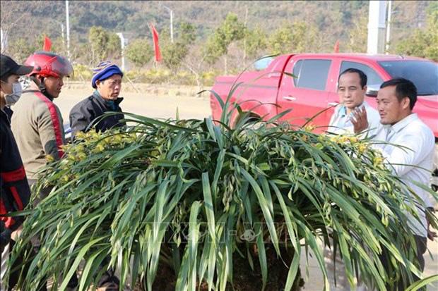 Lai Châu: Một xã trồng 400.000 chậu địa lan quý hiếm, Tết này chỉ bán 500 chậu, giá 1 chậu địa lan bao nhiêu triệu? - Ảnh 6.