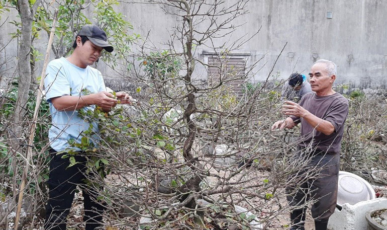 Phú Yên: Tết nhất đến nơi rồi, dân các làng trồng mai Tết lo sốt vó, thương lái cứ bình chân như vại - Ảnh 1.